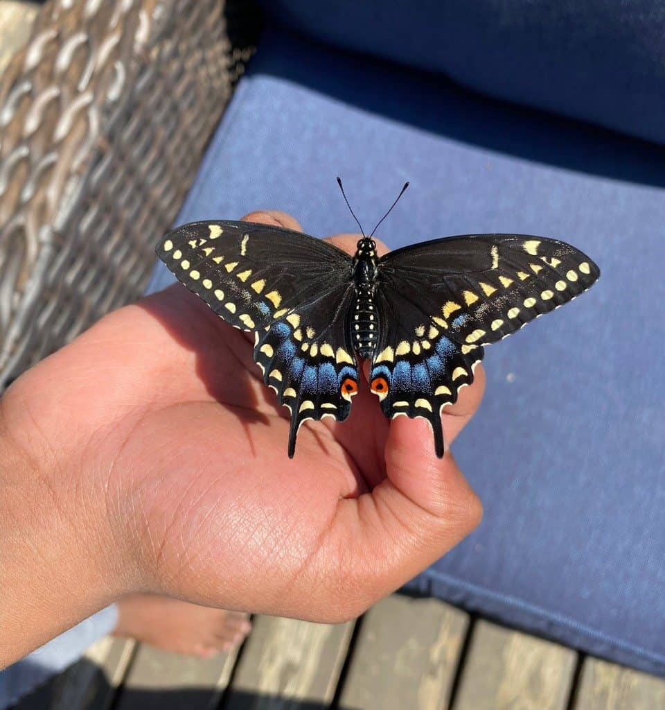 Black swallowtail butterfly resting on a person's hand